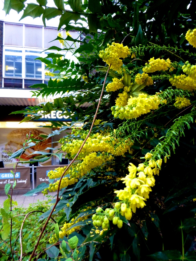 Mahonia Princess Way Camberley