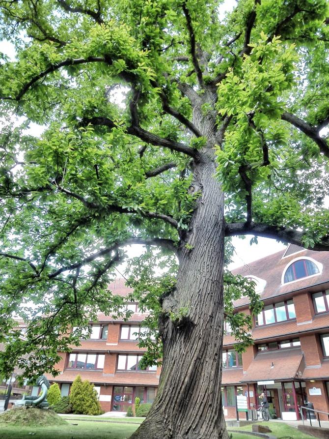 Mature tree at SHBC offices