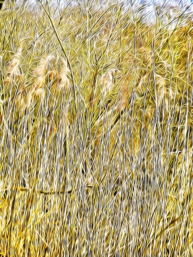 Reeds Frimley Lakes