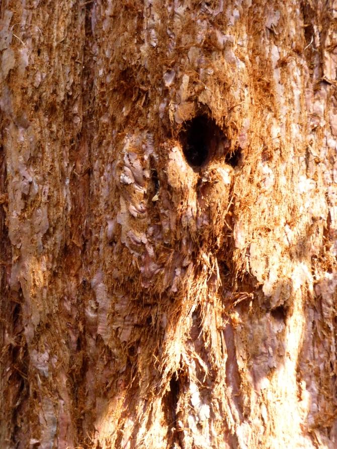 Wellingtonia bark